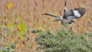northern-mockingbird-in-flight-1440x960