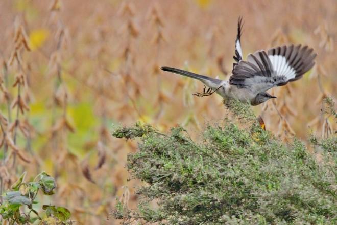 northern-mockingbird-in-flight-1440x960