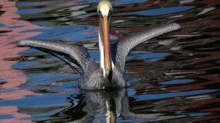 pelican-liftoff