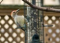 red-belly-woodpecker-1