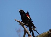 red-winged-blackbird-2