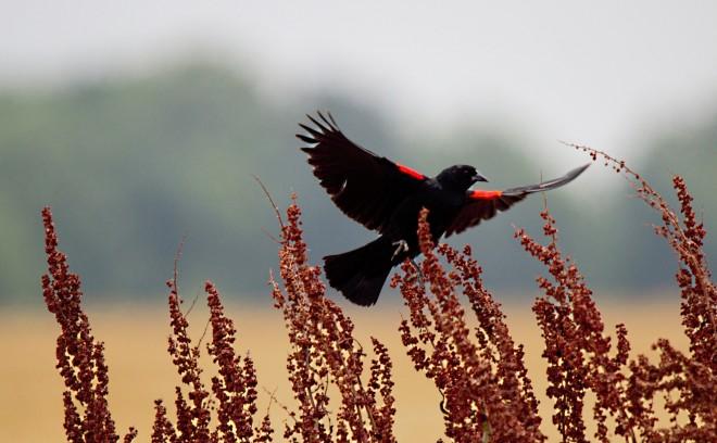 red-winged-blackbird-6