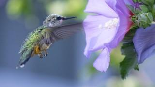ruby-thrhoated-hummingbird-1