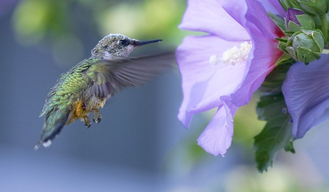 ruby-thrhoated-hummingbird-1