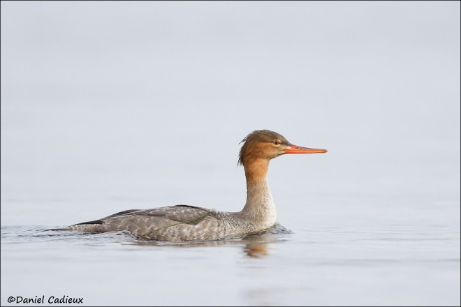 tn_Red-breasted-Merganser_8134-1