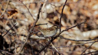 white-throated-sparrow-1440x960