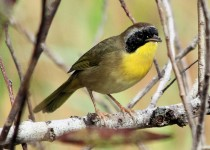 yellowthroattp