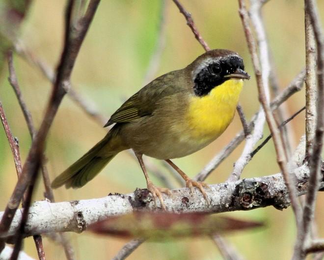 yellowthroattp