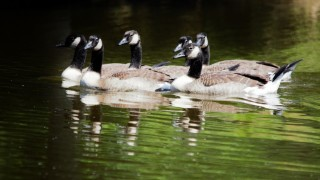 young-geese-3-1280x853