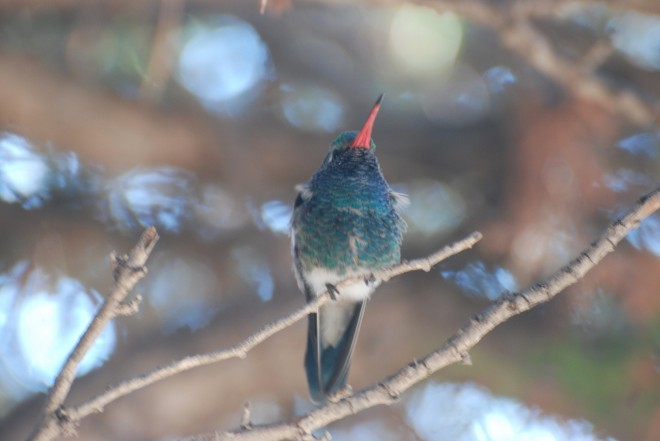 121313-broad-billed-hummer-2