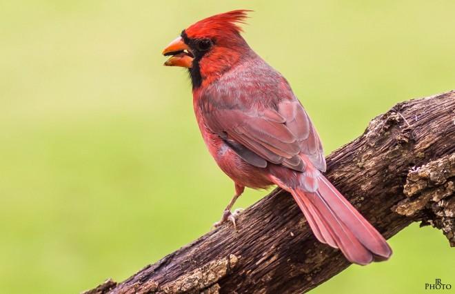 2013-10-18-Red-Bird-IMG_4048-1