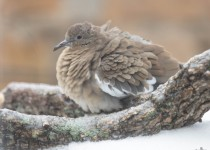 2013-12-6-Mourning-Dove-A84B4376-1