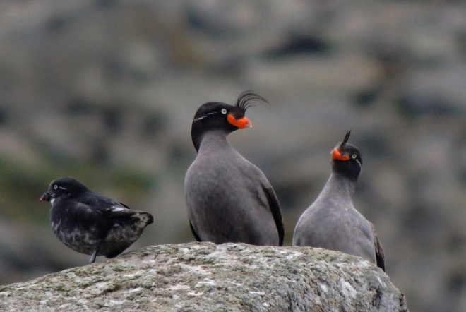7-24-13-Least-Crested-Auklets-08