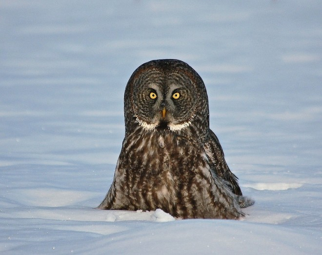 Great Gray Owl in southern Ontario by newfoundlander61