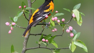 Baltimore-Oriole-on-Apple-Blossoms