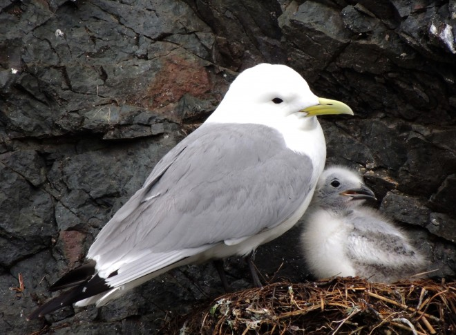 Black-legged-Kittiwakes-03-1