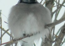 Blue-Jay-Staying-Warm