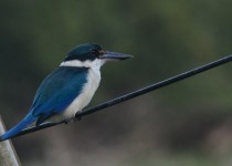Blue-back-kingfisher