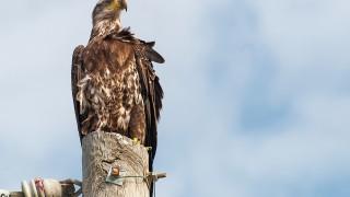 DSC_7451-Bald-Eagle