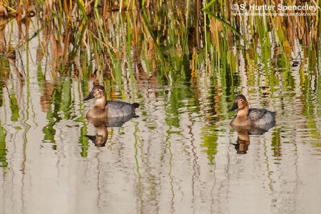 DSC_7626-Canvasback-Ducks