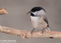 DSC_7955-Carolina-Chickadee