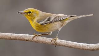 DSC_8010-Pine-Warbler
