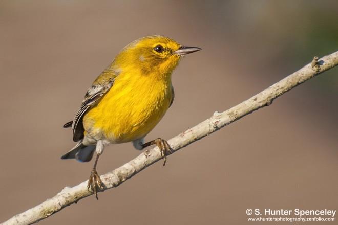 DSC_8075-Pine-Warbler