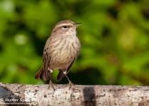 DSC_8575-Palm-Warbler