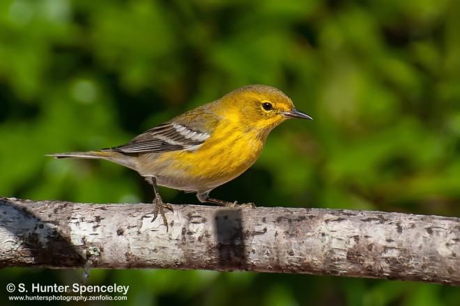 DSC_8582-Pine-Warbler