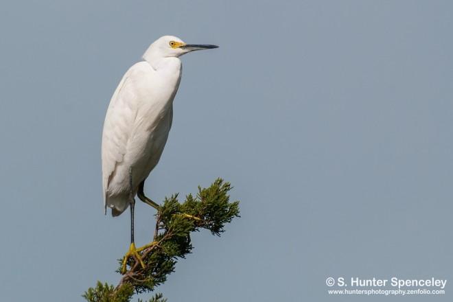 DSC_8991-Snowy-Egret