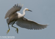DSC_9033-Snowy-Egret
