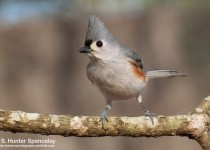 DSC_9065-Tufted-Titmouse