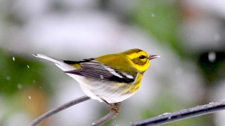 Female-Townsends-warbler-Dec-2012
