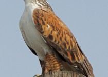 Ferruginous-Hawk-CBC-San-Pasqual-Vlly-12-28-13-submitted-to-Birdwatching-Magazine-gallery