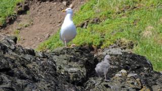 Glaucous-Gulls-04