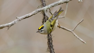 Golden-crowned-Kinglet-MD-120113