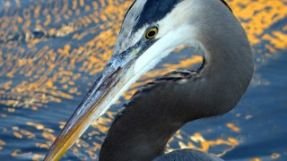 Great-Blue-Heron-2013-SX50