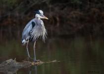 Great-Blue-Heron_KK4L2468bw