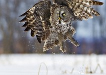 Great Gray Owl ©2013 Ted Busby