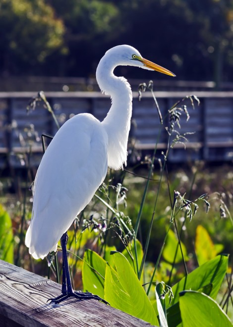 GreatEgret2