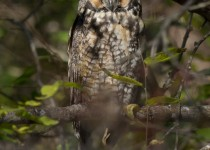 Long-eared-Owl_edited-2