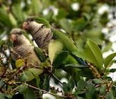 Monk Parakeets in Boynton Beach, Florida, by Maureen Leong-Kee. Wikimedia Commons.