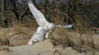 Nancy-Hedgespeth-Snowy-Owls