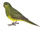 Night Parrot by Martin Thompson, Wikimedia Commons.