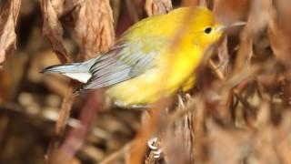 Prothonatary-Warbler-Hebron-AC.7.1