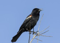 Red-winged-blackbird-male-8