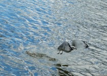 Ringbill-gull-Lake-Gibson