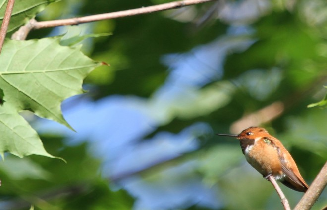 Rufous-HummingbirdRHRd1.7