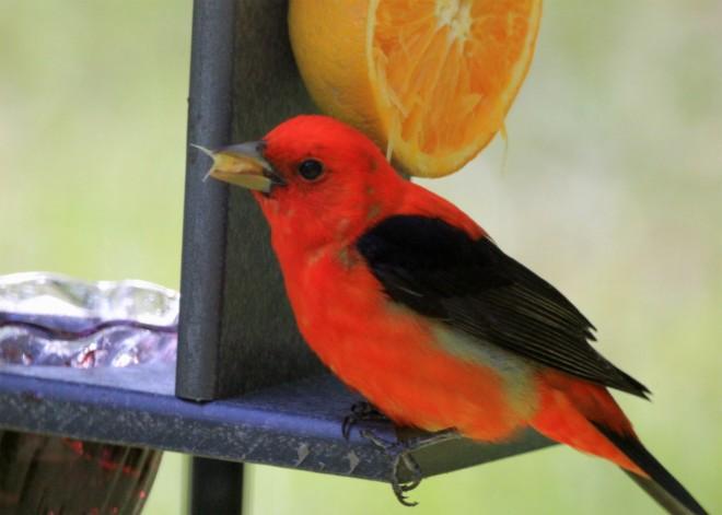Scarlet-Tananger