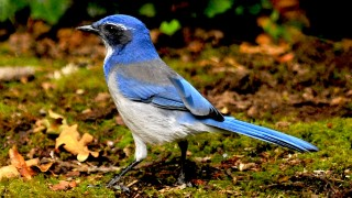 Scrub-jay-on-ground